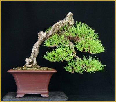 画像1: 黒松(中品・樹高33cm)