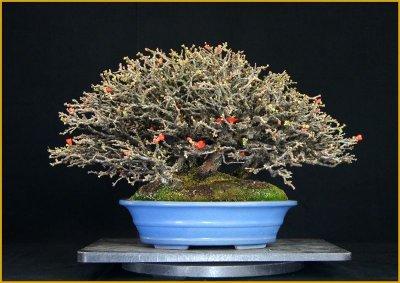 画像1: 長寿梅(寄せ植え・中品)